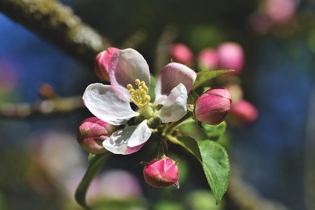 apple-blossoms-4159454_640